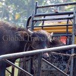 Bull, cow, animal, farm, domestic, india, travel, calf, meat, milk