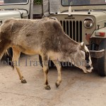Bull, cow, animal, farm, domestic, india, travel, calf, meat
