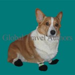animal, domestic, dog, pet, corgie, Pembroke Welsh Corgi