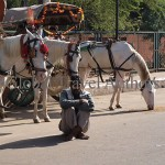 Horse, carriage, animal, domestic, travel, tourist, India, Agra, white, harnessed,