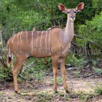 Kudu, antelope, female, male, mammal, Africa, African, Krooger National Park, wildlife, wild, South Africa, safari, travel, adventure