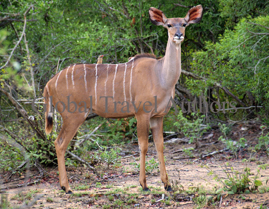 Kudu, antelope, female, male, mammal, Africa, African, Krooger National Park, wildlife, wild, South Africa, safari, travel, adventure