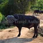 Buffalo, male, mammal, Africa, African, Krooger National Park, wildlife, wild, South Africa, safari, travel, adventure