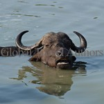 buffalo, female, mammal, Africa, African, Krooger National Park, wildlife, wild, South Africa, safari, travel, adventure