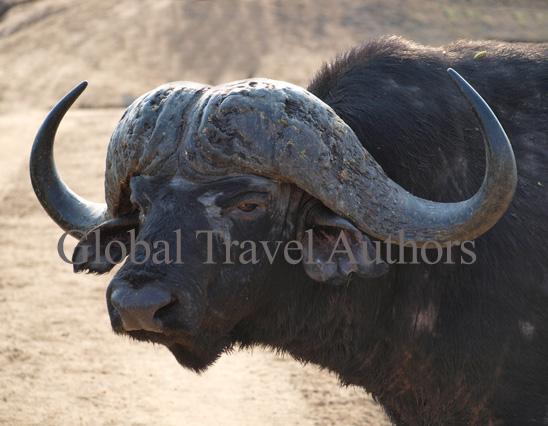 Buffalo, male, mammal, Africa, African, Krooger National Park, wildlife, wild, South Africa, safari, travel, adventure