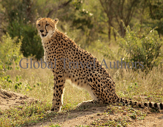 Cheetah, female, mammal, Africa, African, Krooger National Park, wildlife, wild, South Africa, safari, travel, adventure