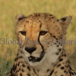 Cheetah, male, female, mammal, Africa, African, Krooger National Park, wildlife, wild, South Africa, safari, travel, adventure
