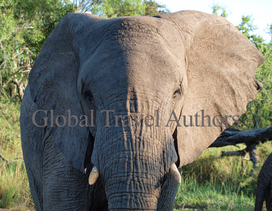 Elephant, male, mammal, Africa, African, Krooger National Park, wildlife, wild, South Africa, safari, travel, adventure