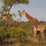 Giraffe, male, female, mammal, Africa, African, Krooger National Park, wildlife, wild, South Africa, safari, travel, adventure