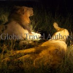 lion, male, female, mammal, Africa, African, Krooger National Park, wildlife, wild, South Africa, safari, travel, adventure