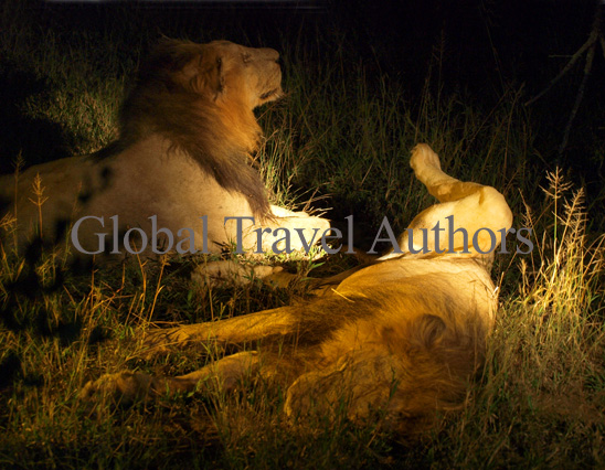 lion, male, female, mammal, Africa, African, Krooger National Park, wildlife, wild, South Africa, safari, travel, adventure