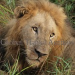 lion, male, mammal, Africa, African, Krooger National Park, wildlife, wild, South Africa, safari, travel, adventure