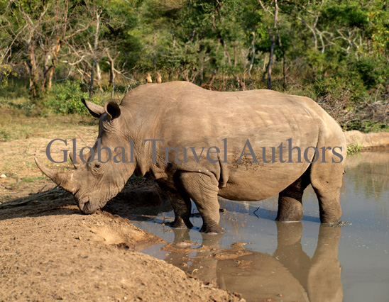 White Rhinoceros, rhino, male, female, mammal, Africa, African, Krooger National Park, wildlife, wild, South Africa, safari, travel, adventure