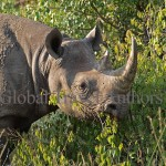 Black Rhino, rhinoceros, male, mammal, Africa, African, Krooger National Park, wildlife, wild, South Africa, safari, travel, adventure