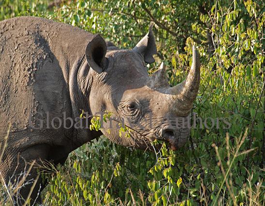 Black Rhino, rhinoceros, male, mammal, Africa, African, Krooger National Park, wildlife, wild, South Africa, safari, travel, adventure