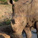 White Rhino, rhinoceros, male, female, mammal, Africa, African, Krooger National Park, wildlife, wild, South Africa, safari, travel, adventure