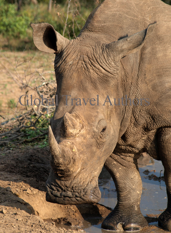White Rhino, rhinoceros, male, female, mammal, Africa, African, Krooger National Park, wildlife, wild, South Africa, safari, travel, adventure