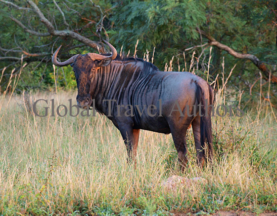 Wildebeest, male, mammal, Africa, African, Krooger National Park, wildlife, wild, South Africa, safari, travel, adventure