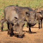 warthog, male, female, mammal, Africa, African, Krooger National Park, wildlife, wild, South Africa, safari, travel, adventure