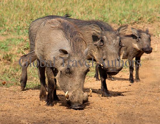 warthog, male, female, mammal, Africa, African, Krooger National Park, wildlife, wild, South Africa, safari, travel, adventure