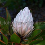 Flower, Protea, sugarbush, tree, vegetation, flora, garden, botany, botanical, bright, bloom, blossom, bushes, Africa, Kirstenbosch National Botanical Garden, Cape Town, South Africa