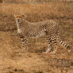Cheetah photographed in Serengeti National Park, Tanzania
