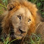 Lion resting in Kruger Park, SAR