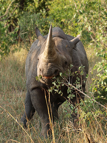 African Black rhinoceros