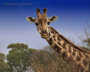 Photo of Giraffe in Africa