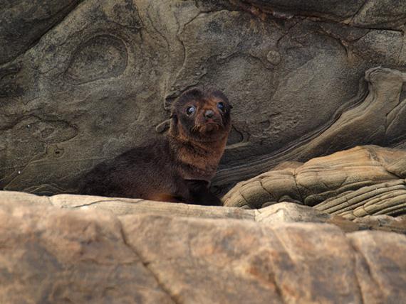 Australian fur seal pup