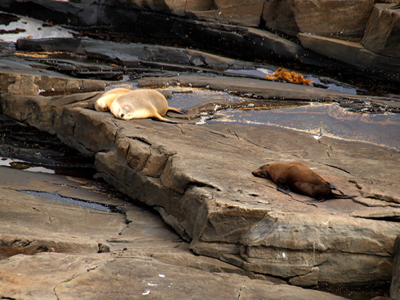 Two sea lions and fur seal