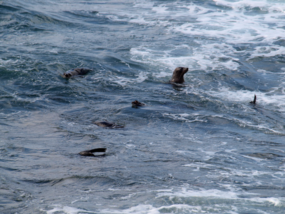 Sea lions swim near shore