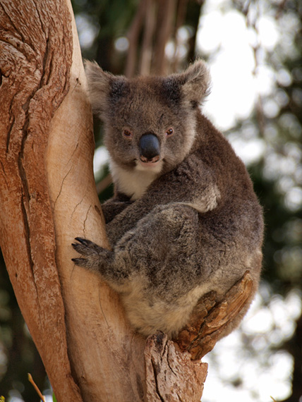 Koala looking at visitors