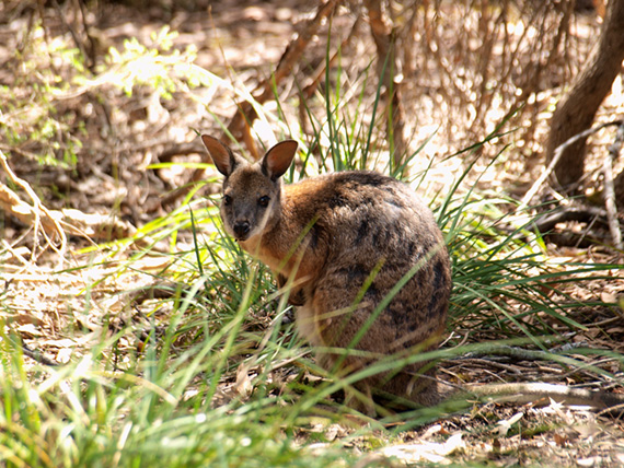 Small red-necked Wallaby hiding in the bush