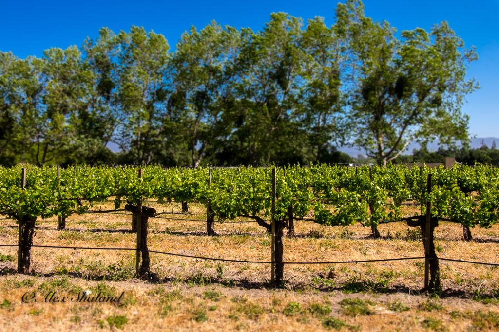 Brander's vineyard
